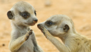 MEERKATS: exploring the underground maze they call home