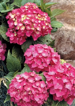 pruning_to_perfection-hydrangeas