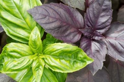 basil-varieties
