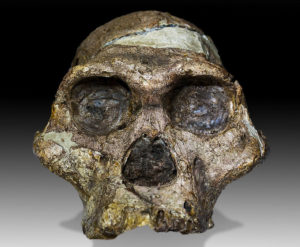"""One of the most famous fossil skulls, """"Mrs Ples"""", is actually a """"Mr""""!"""