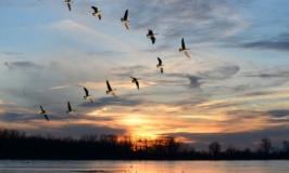 Birds migrate to escape disease